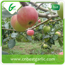 2015 new crop of fresh royal gala apple from Shandong province China