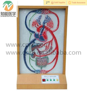 Human blood cycle and organs function instrument biology electric model