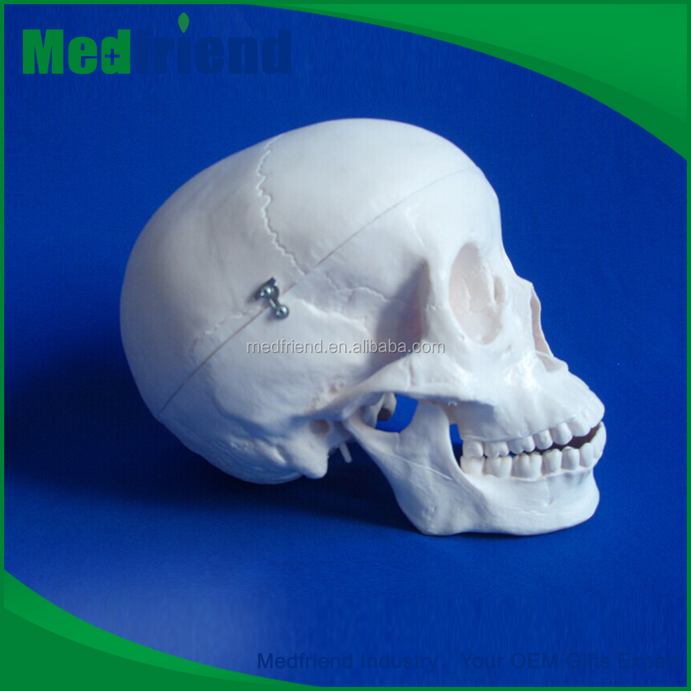 MFM004 High Quality Cheap Medical Anatomical Skull Model