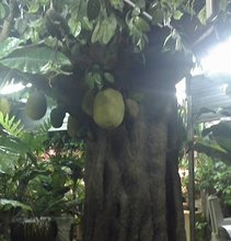 indoor or outdoor large artificial decorative Jack fruit tree for decoration