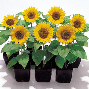 2015 Garden Scenery Yellow Pink Black Red Sunflower Seed For Growing