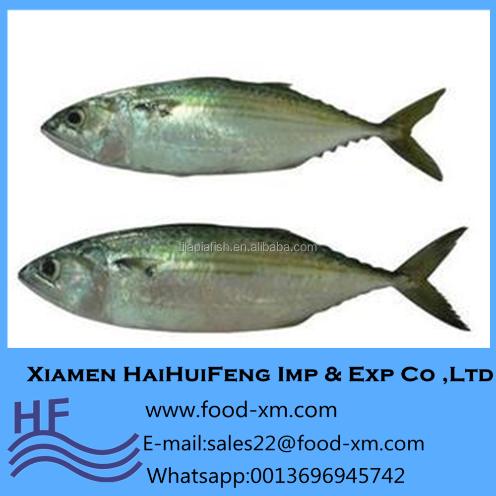 Scientific name of Indian mackerel fish Rastrelliger kanagurta for sale