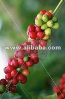 Robusta green coffee beans cherry from goodly plantations