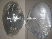 chinese river shell