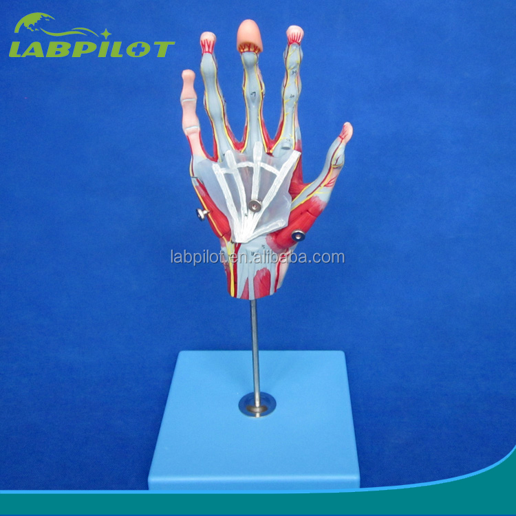 Wholesale anatomy model - Online Buy Best anatomy model from China ...