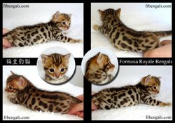 Sold Male Bengal Cat
