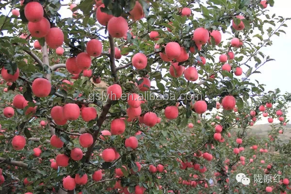 best price and good quality FUJI APPLE