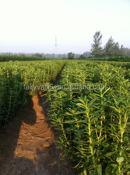Chinese high quality organic stevia seeds high germination rate