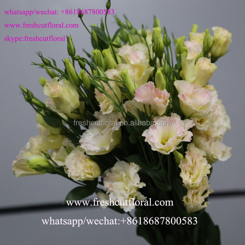 Freshcutfloral Is Alibaba Best Wholesale Fresh Cut Eustoma Flowers ...