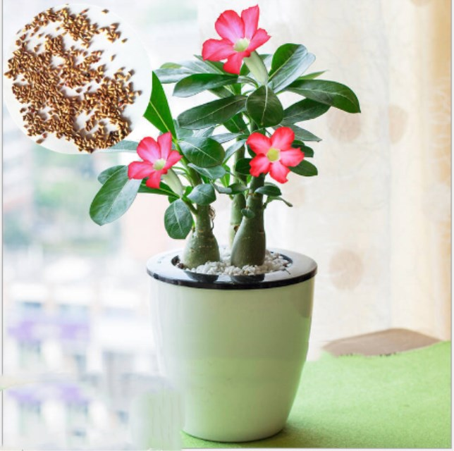 Sha mo mei gui High survival rate Adenium seeds desert rose seeds