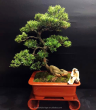 Artistic Miniature Bonsai Chinese Japanese Bonsai Yew Plum Buddhist Pine, Podocarpus Macrophyllus Trees