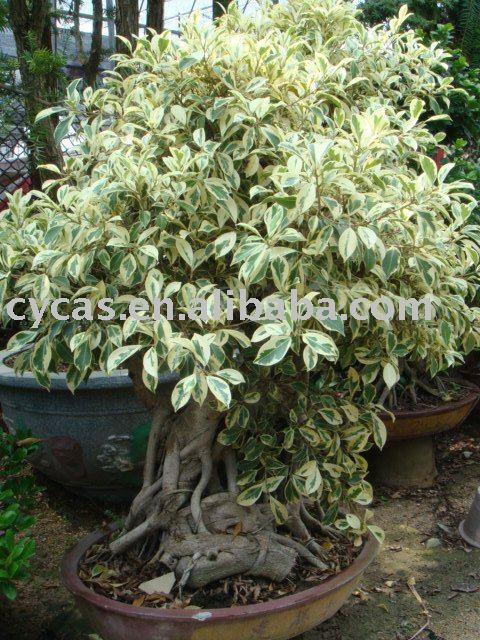 Ficus microcarpa ficus bonsai albero di ficus bonsai id for Bouganville in vaso prezzo