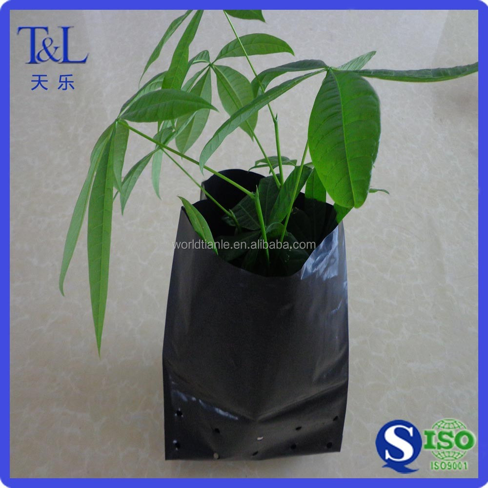 Green tree growing plant nursery black poly bag punching holes plastic grow bag