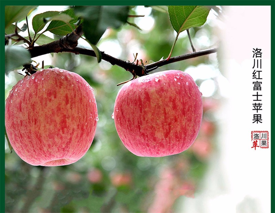 Chinese best apples Luochuan fresh fruit red fuji apples baking apples