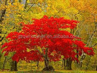 Good quality Green maple tree seeds MHts000060