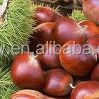 new crop Chinese Organic Chestnuts raw fruit