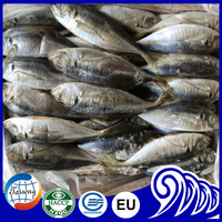 High Quality Frozen Horse mackerel trachurs japonicus 20cm+ in mauritania