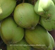 Tender Coconut/Fresh Young Coconut from india