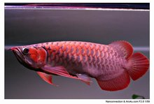 super red arowana