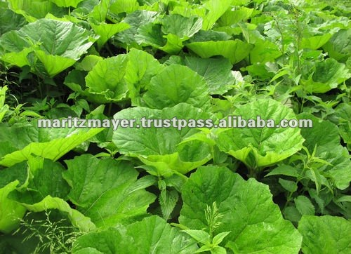 Butterbur Extract (Herb) 75mg Softgels