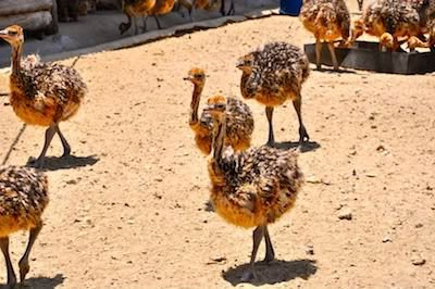 Ostrich chicks and eggs for sale.Contact our website to place order(www.birdsbreed.webs.com)