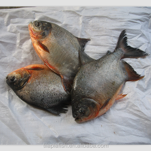 whole round frozen silver pomfret with good price on sale