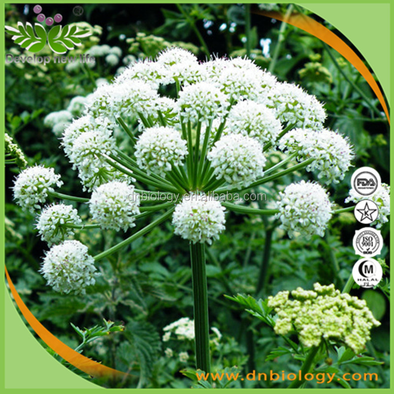Wholesale chinese Angelica Extract, Tuhuo Angelica Extract,Angelica sinensis (Oliv.) Diels