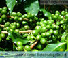 GMP Manufacture High Quality 100% Natural Green Coffee Extract Powder KS-29