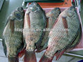 African Market Fresh Tilapia Whole