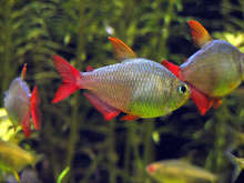 ORNAMENTAL FISH COLOMBIAN TETRA