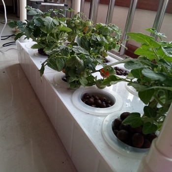 indoor hydroponic potatoes planting grow hydroponic tomatoes
