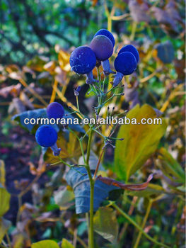 100% natural Blue cohosh Extract,Blue cohosh,Blue cohosh Extract powder