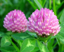 pure high quality red clover extract