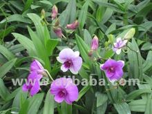 Plant Dendrobium Pink White (compactum mix color)