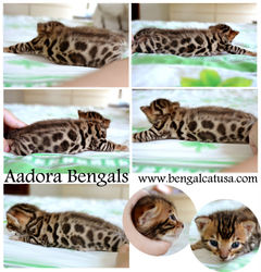 TICA Registered Purebred Bengal Cat