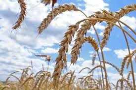 Agent in Ukraine for wheat, burley, sunflowers or corn purchases from producers