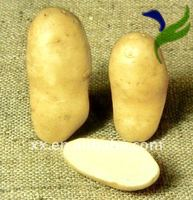 new crop fresh yellow potatoes