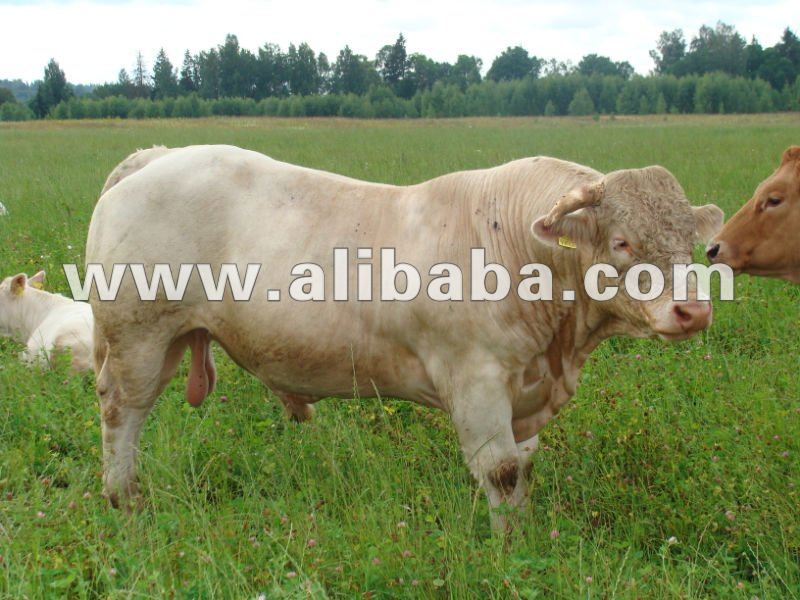 life cattle,life beef bulls - SA-sharollee, XG, Limousine, and other