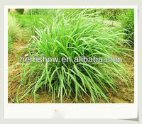 Citronella seeds for growing