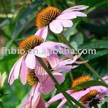 Echinacea for Functional food