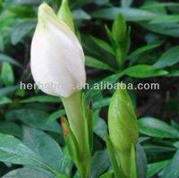 Cape Jasmine Flower Seeds for Garden & beautiful flowers