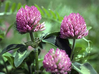 Red Clover Menopause extract powder with isoflavones