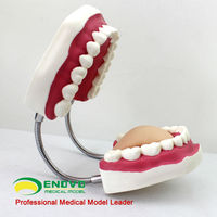 DM-17 Large Dental Care Education Tooth Models with Tooth Brush from China Wholesaler