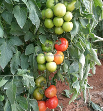 T17 shouxing good fruit setting f1 hybrid tomato seeds prices