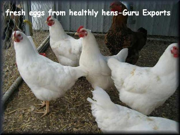 FARM FRESH POULTRY INDIAN WHITE & BROWN SHELL CHICKEN TABLE HEN EGGS, POULTRY FARMING INDIA, CHICKEN HEN FARM, EXPORTER SUPPLIER