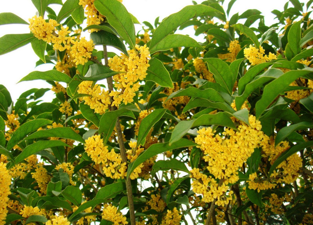 China manufacture Osmanthus fragrans liquid flavor fragrance spice