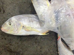 frozen yellow stripe trevally fish sea food