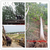 Cold resistant hybrid Paulownia Root sapling for plantation