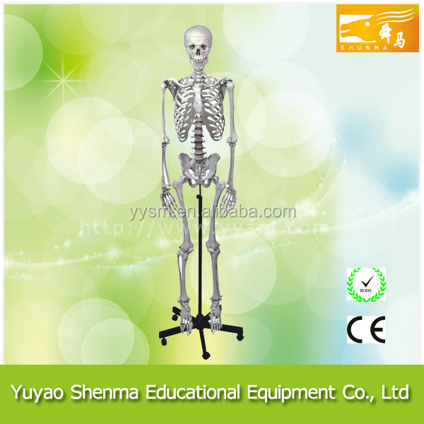 School educational medical human skeleton
