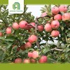 farm bulk apples whole sale apples - gala royal with great price